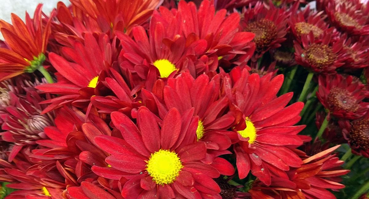 falldaisies_Fallflowers