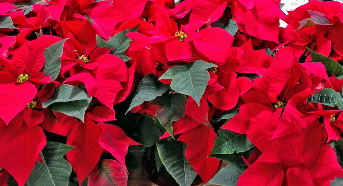 poinsettias4 (1)