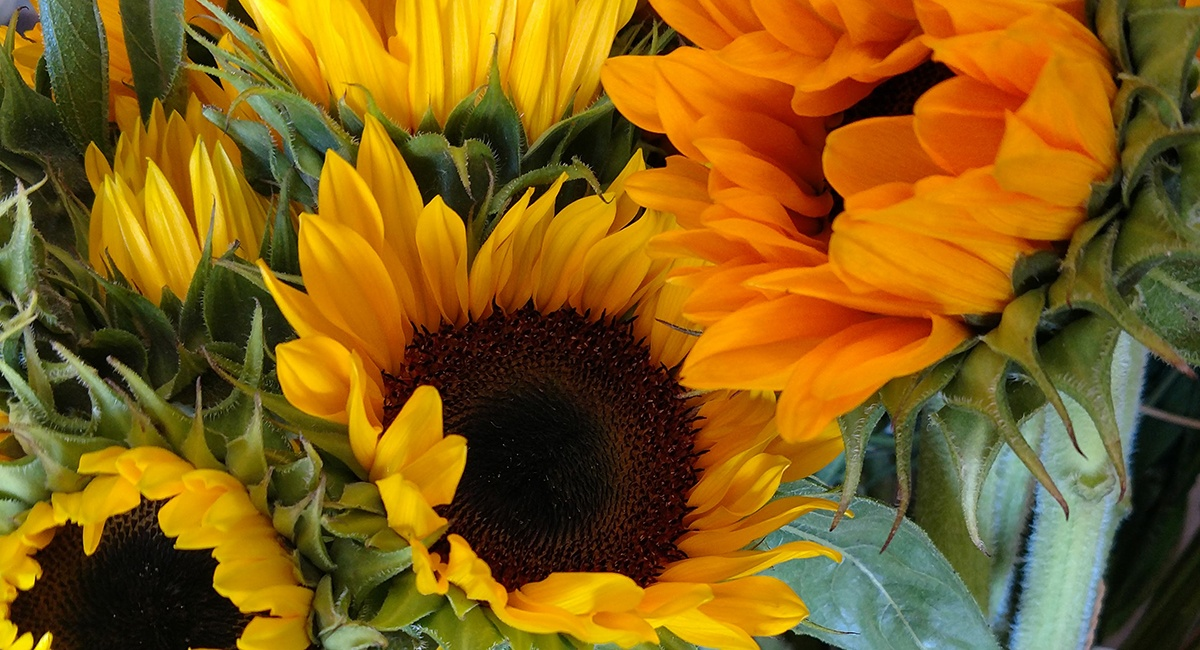 sunflowers_fallflowers